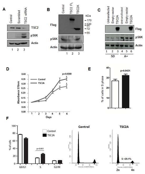 TSC2 isoform A does not inhibit mTOR signalling and increases cell proliferation.