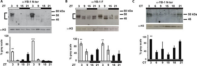 zfYB-1 protein expression in caudal fins.