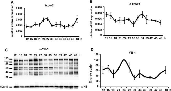 hYB-1 expression in clock synchronized HEK293 cells.
