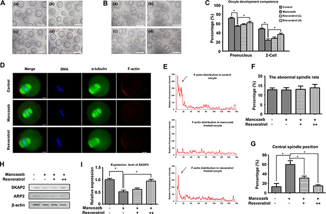 Effects of resveratrol on mancozeb affecting oocytes quality and developmental competence.