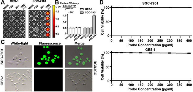 The targeting ability and toxicity of RGD-ICG in cell lines.