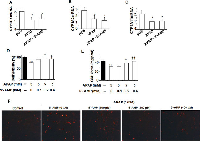 5′-AMP protected against APAP-induced cellular damage in liver cell L02.