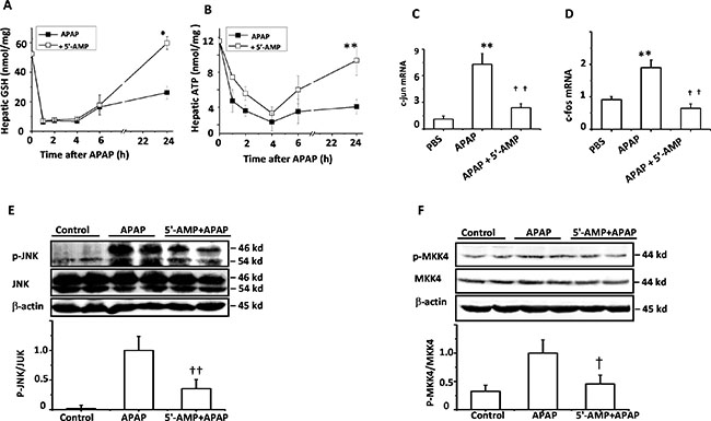 5′-AMP protected from GSH and ATP depletion and suppressed JNK activation.