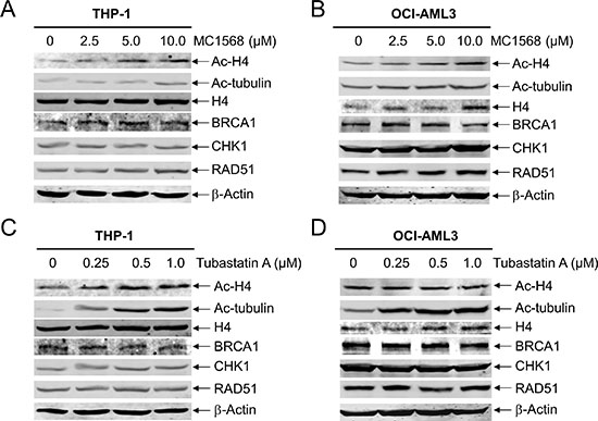 Inhibition of Class II HDACs has no impact on the expression of BRCA1, CHK1, and RAD51 in AML cells.