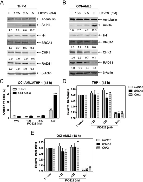 FK228 decreases expression of BRCA1, CHK1, and RAD51 by inhibiting HDAC1 and HDAC2 in AML cells.