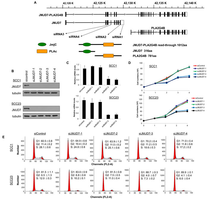 JMJD7-PLA2G4B is required for HNSCC cell proliferation and cell cycle progression.