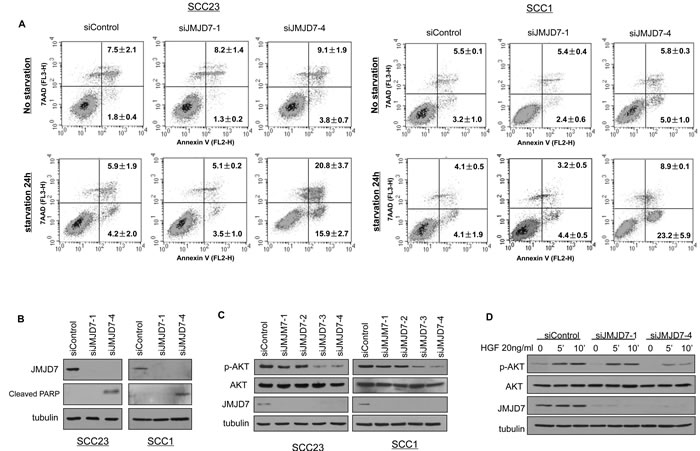 JMJD7-PlA2G4B promotes cell survival and AKT activation in HNSCC cells.
