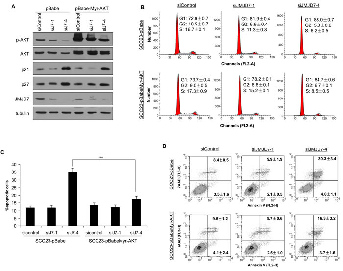 Overexpression of Myr-AKT restores survival in JMJD7-PLA2G4B knockdown cells.