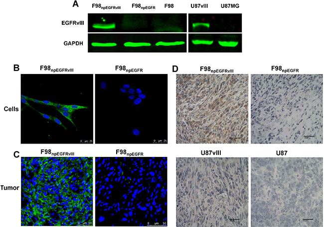 Western blot results showed that 4G1 exclusively recognized EGFRvIII protein over-expressed by F98npEGFRvIII and U87vIII cells.