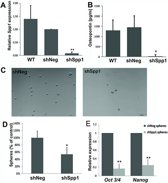 Stable knockdown of Spp1 expression in C6 glioma cells reduces sphere formation and stemness factor expression.