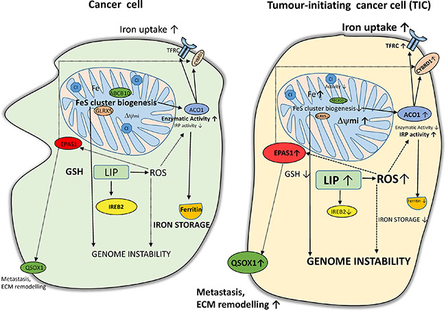 Putative scheme depicting changes in iron metabolism of tumor-initiating cells (TICs).