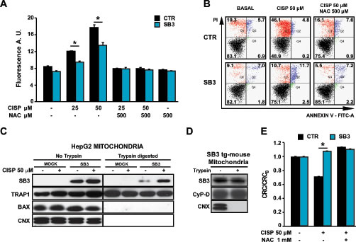 SB3 is located in mitochondria and inhibits oxidative stress and PTP opening.