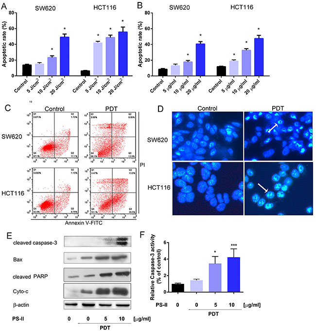 Apoptosis induction in HCT116 and SW620 cells by PS-PDT.