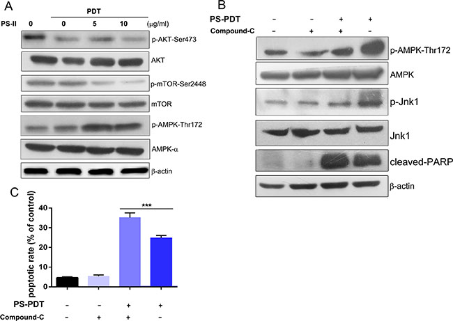 Analysis of AMPK activation and AKT/mTOR pathway inhibition in PS-PDT-treated SW620 cells.