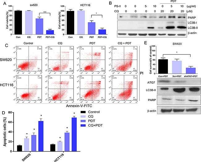 Autophagy inhibition enhanced the PS-PDT-induced apoptosis in SW620 and HCT116 cells.