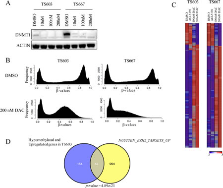 Decitabine reverses genome-wide DNA methylation and induces expression of genes associated with differentiation in IDH mutant glioma cells.