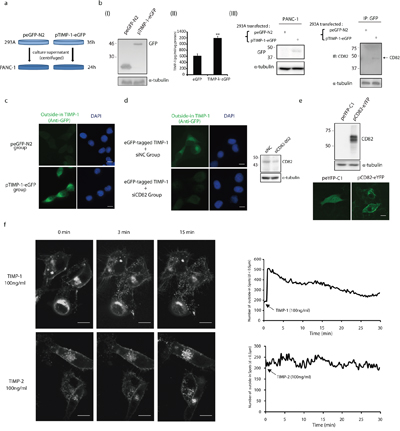 CD82 participates in TIMP-1 cytoplasmic translocation in PANC-1 cells.