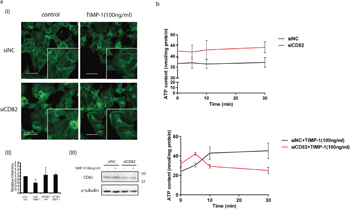 Mechanisms of that TIMP-1 exclusively inhibited PANC-1 cell migration through CD82.
