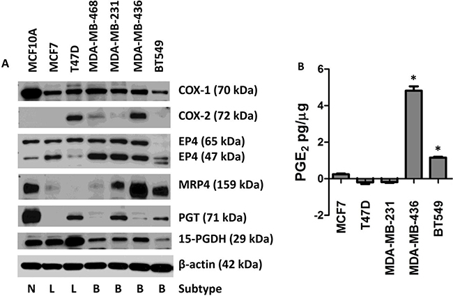 Expression of the COX-2/PGE2 pathway proteins in seven human breast cell lines leading to extracellular accumulation of PGE2.