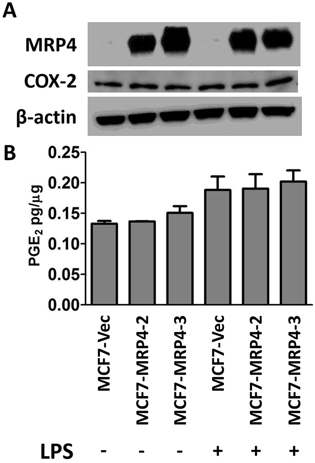 Stable over-expression of MRP4 does not enhance PGE2 export from MCF7 cells.