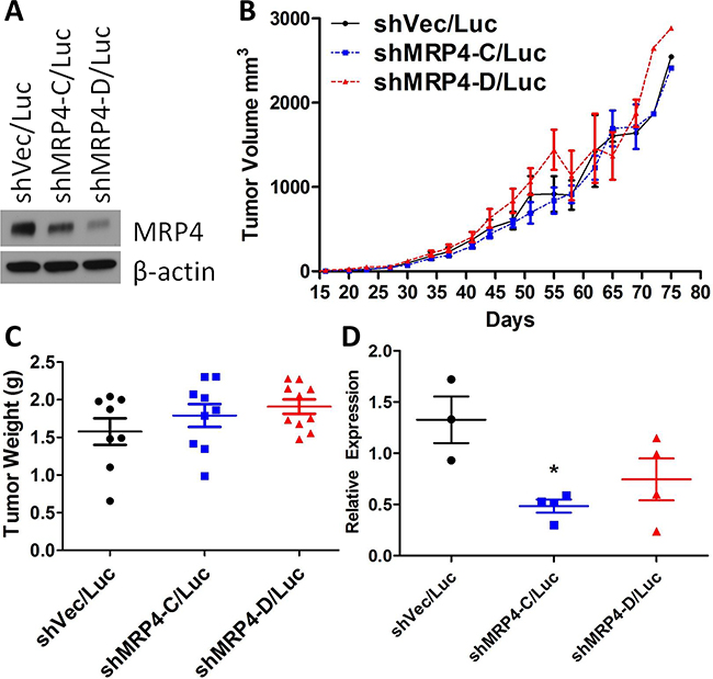 Subcutaneous xenografts of MDA-MB-231 shMRP4/Luc cells showed no difference in growth despite differences in MRP4 expression.