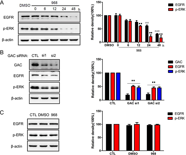 968 treatment down-regulated EGFR/ERK pathway.