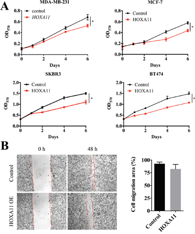 HOXA11 suppressed cell proliferation and migration in MDA-MB-231 cells.