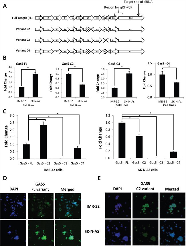 Discovery of GAS5 splice variants differentially expressed in MYCN-amplified vs. non-MYCN-amplified neuroblastoma cells.