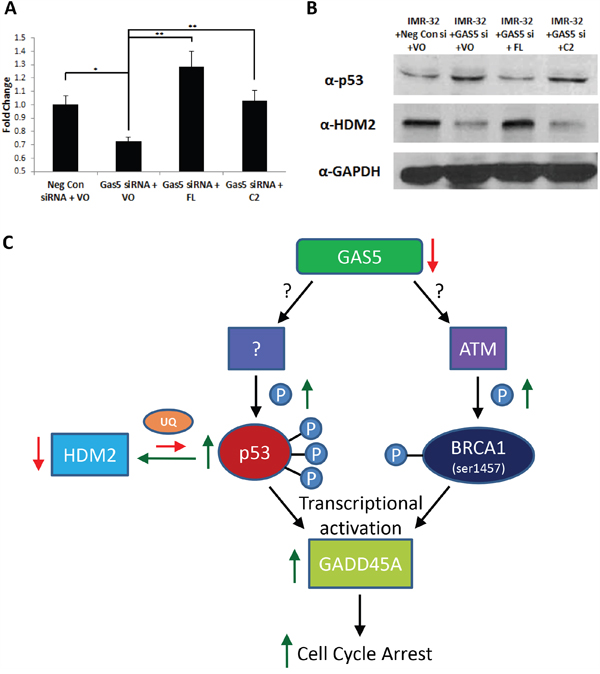 Complementation of FL splice variant in GAS5 knocked-down cells stabilizes HDM2.
