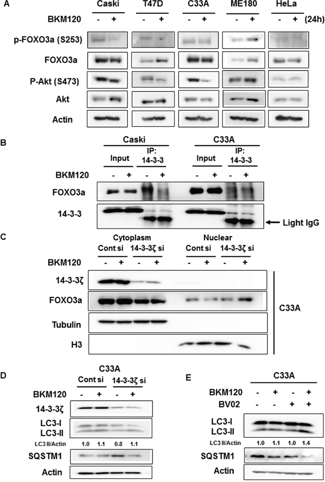Dissociation of FOXO3a from 14-3-3 by BKM120 treatment mediates FOXO3a activation and autophagy induction.