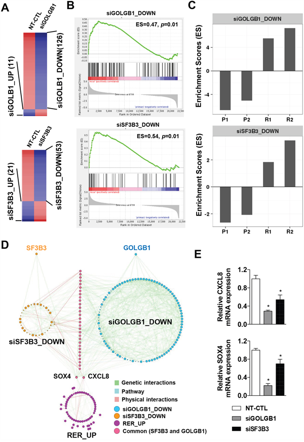 CXCL8 and SOX4 are potential downstream targets of the mutants of GOLGB1 and SF3B3.