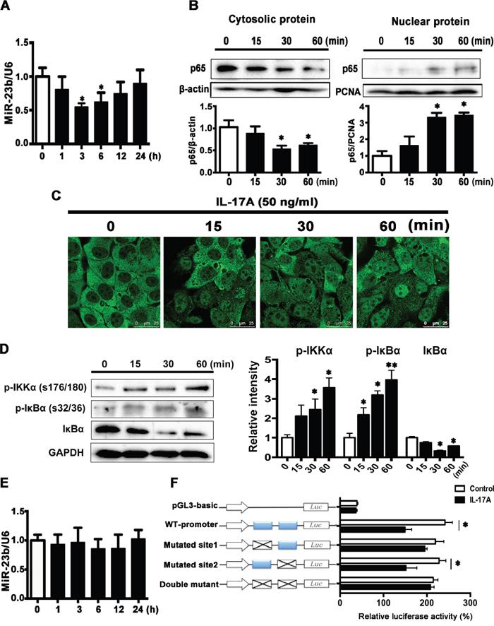 IL-17A downregulates miR-23b expression through activating NF-κB.