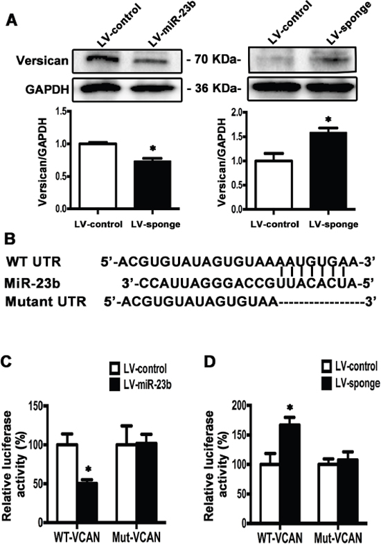 Versican is the downstream target of miR-23b in SCC15 cells.