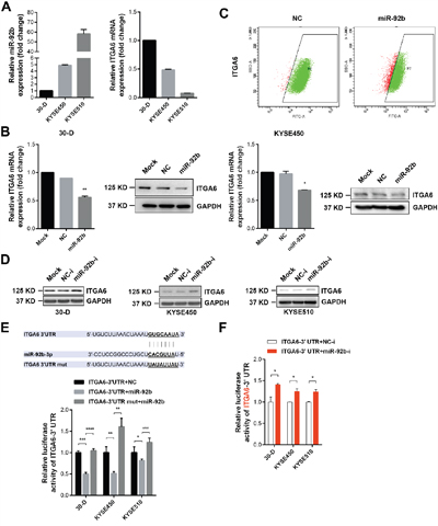 Integrin α6 is a genuine target of miR-92b in ESCC cells.