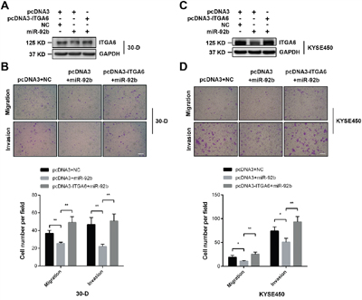 Integrin α6 is a functional target of miR-92b in ESCC cells.