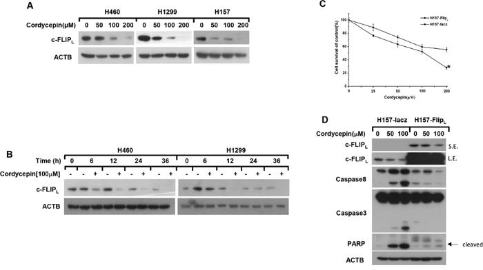 Cordycepin induces apoptosis through down-regulation of c-FLIPL.