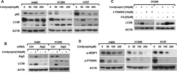 Cordycepin inactivates mTOR and leads to autophagy in NSCLC cells.