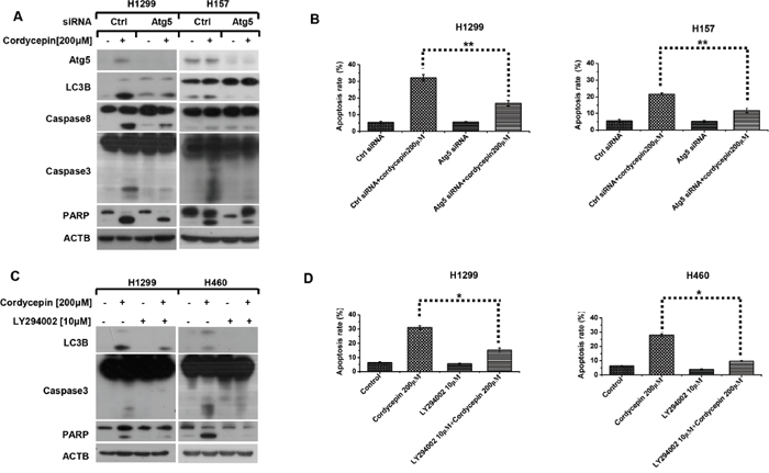 Cordycepin gives rise to pro-apoptotic autophagy in NSCLC cells.