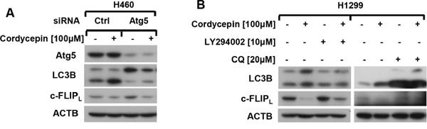 Cordycepin promotes c-FLIP degradation through activating autophagy.