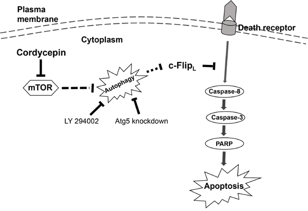 The schematic model of cordycepin-triggered apoptosis and autophagy in human NSCLC cells.