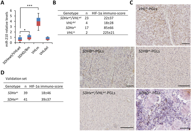 HIF-1α/miR-210 expression in SDHx- and VHL-mutant PGLs.
