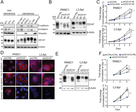 CD147 downregulation inhibits cancer phenotypes.