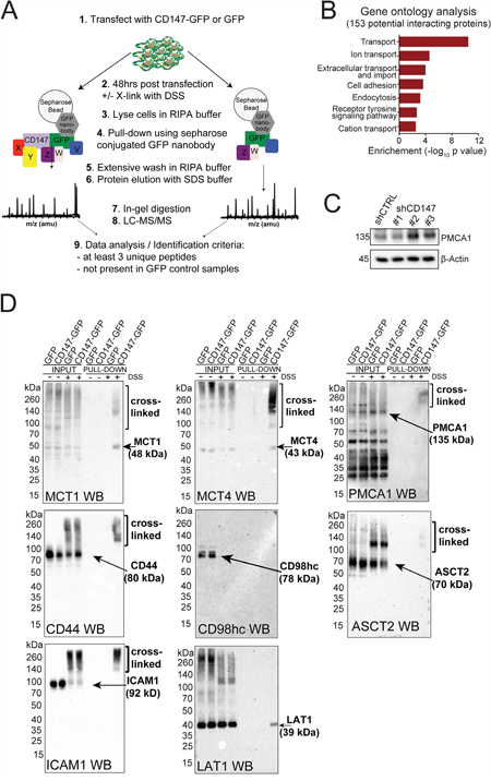 CD147 interacts with multiple transmembrane proteins beyond its interaction with MCTs.