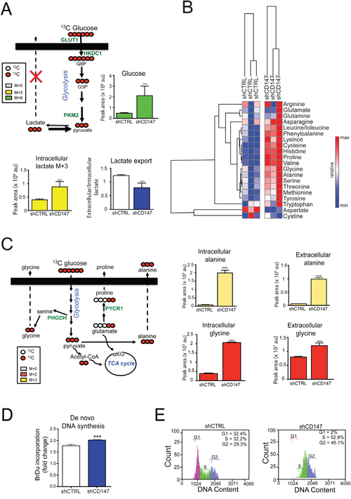 Cell growth inhibition via CD147 knockdown is linked to metabolic reprograming and cell cycle arrest.
