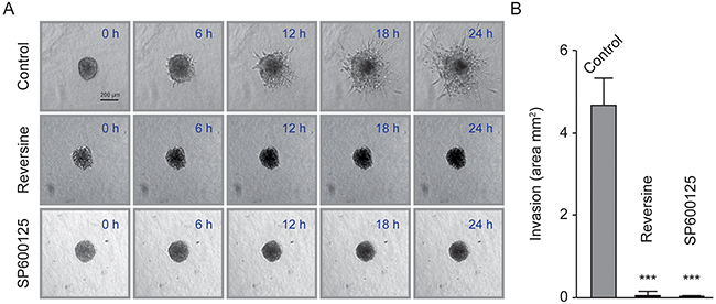 Reversine and SP600125 inhibit diploid MFH152 clone invasion in 3D.