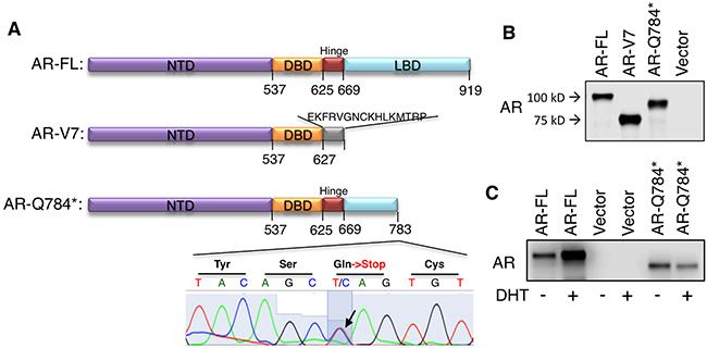 AR-Q784* produces a C-terminal truncated form of AR protein.