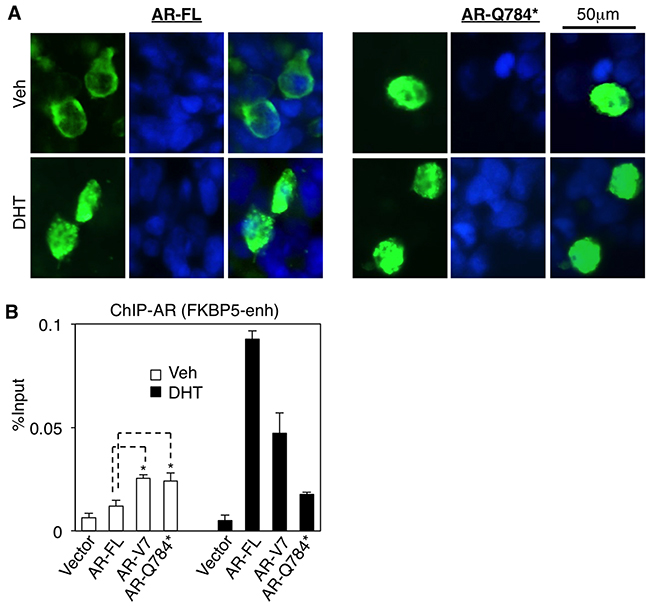 AR-Q784* localizes in nucleus and binds to chromatin independent of androgen stimulation.
