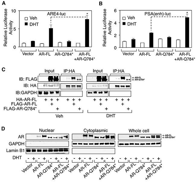 AR-Q784* heterodimerizes with AR-FL and enhances its transcriptional activity.