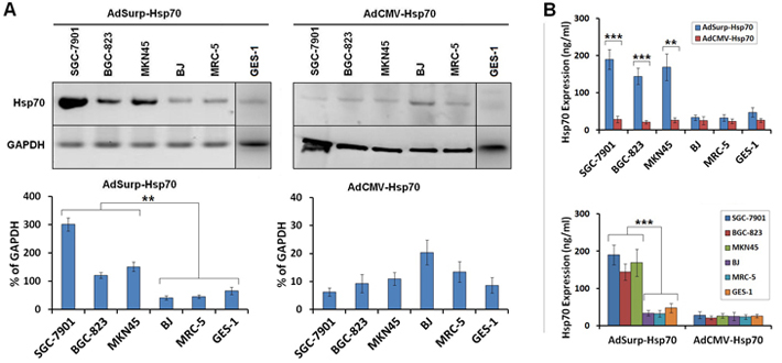 Survivin promoter-regulated oncolytic adenoviruses mediated Hsp70 expression. (A)