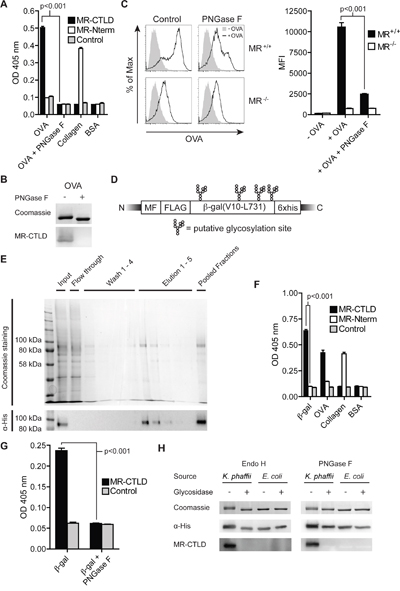 Glycan-dependent binding of the MR to β-gal expressed in K. phaffii.